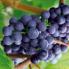 popovpetrich-grape