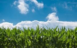 corn-fields-440338_960_720